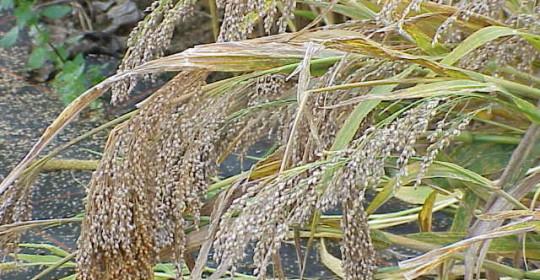 Un cereale al giorno…Il Miglio