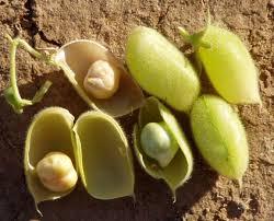 Cicer arietinum (baccello e seme)